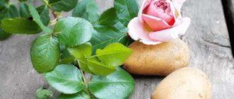 Роза – растение прихотливое