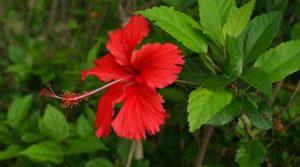 Китайская роза – знакомый нам гибискус