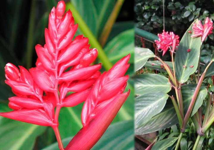 В домашних условиях растение очень редко цветет