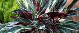 Строманта –растение для опытных цветоводов