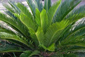 Родом растение из Азии