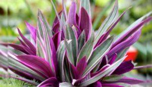 Рео – экзотическое растение