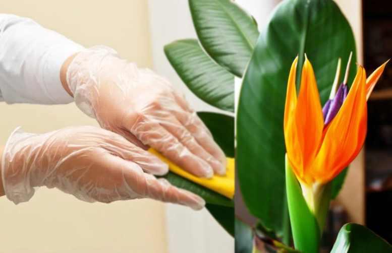 Стрелица – экзотический цветок