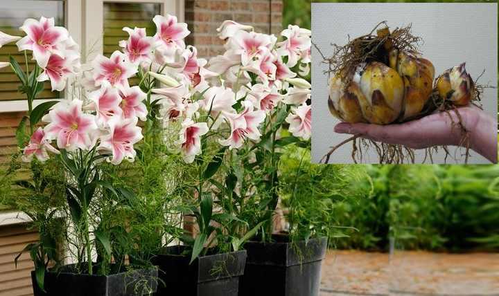 Лилия часто украшает собой садовые участки