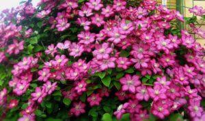 Клематисы популярные цветки