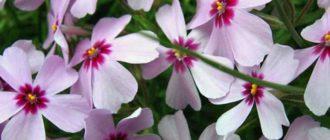 Флокс – растение красивое яркое