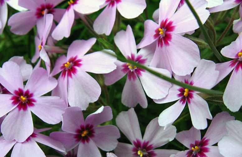 Флокс шиловидный посадка и уход, фото в ландшафтном дизайне, размножение и выращивание сорта в открытом грунте