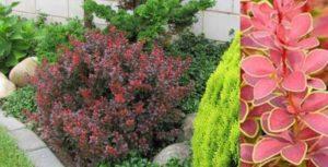 Барбарис Тунберга – декоративный кустарник, относится к виду Барбарисовых. Данный вид имеет 170 разновидностей.