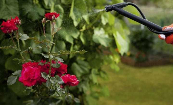 Розу выращивают в садах