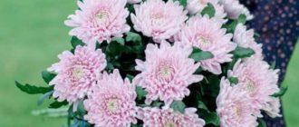 Хризантемы являются очень популярными растениями