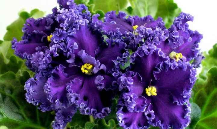 Цветок состоит из махровых лепестков