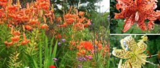 Одно из растений, которое используется в качестве украшения садов – лилия тигровая.