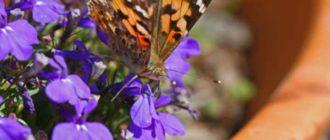 Нежный цветок – лобелия
