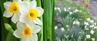 Весенние сады и клумбы украшают эти прелестные, ароматные, впечатляющие цветы.