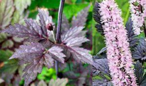 В период цветения растение напоминает высокие свечи, что привлекает ландшафтных дизайнеров.