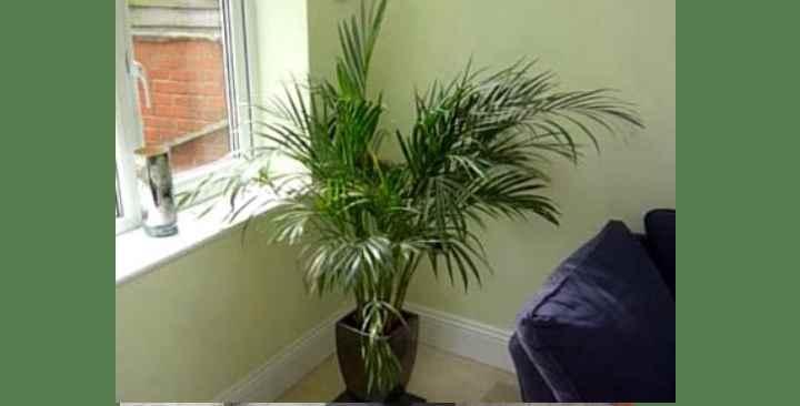 Пальма Арека – уход и выращивание в домашних условиях: Обзор +Видео