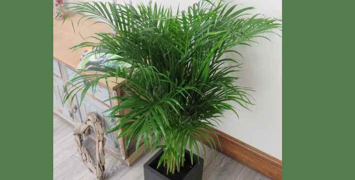 При комнатном разведении ее размеры не превышают 2-х. метров и пальма не плодоносит.