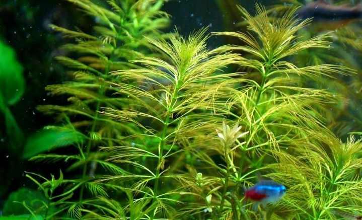 Размножается растение с помощью разветвления стеблей