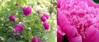 Пионы розового цвета