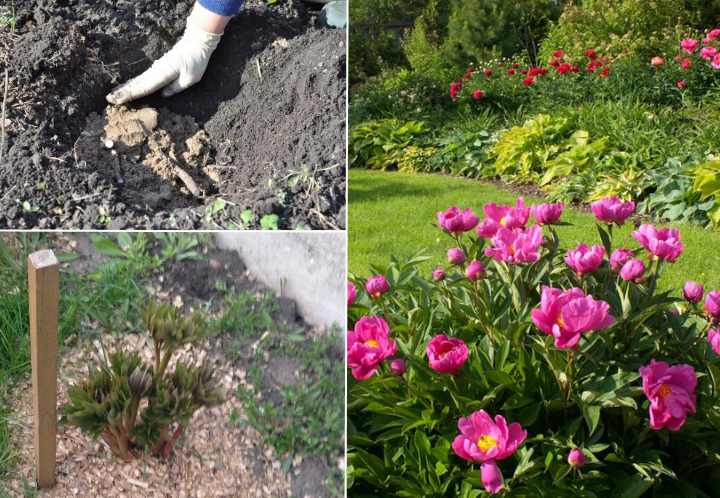 Этот сорт пиона относится к многолетним растениям