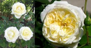 Листья розы блестящие