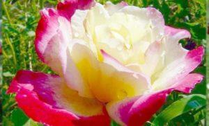 Название розы переводится как двойное удовольствие