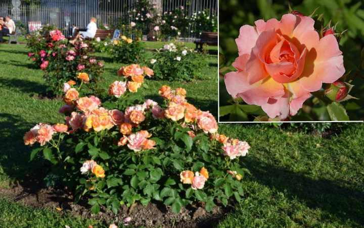 Цвет роза одни раз за период