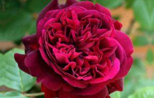 Роза на участке – это всегда красиво