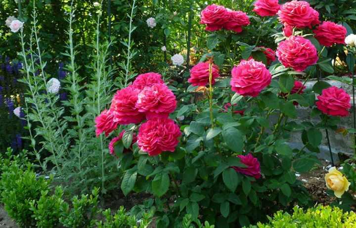 Роза Вильям Шекспир – выносливый сорт