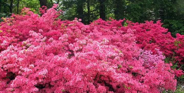 Это листопадный сорт. Вырастает до 3 метров.