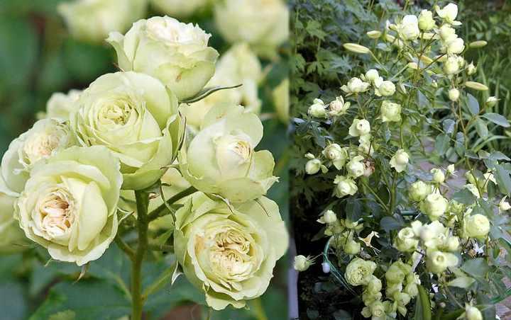 Куст с розами похож на большой шар
