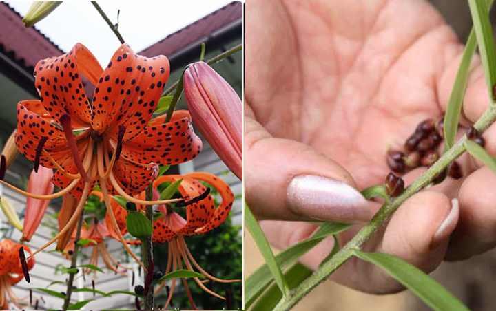 Цвет растение с середины лета по осень