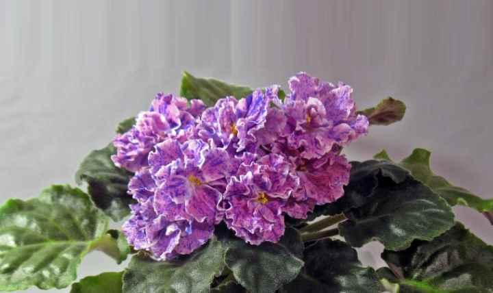 Цветоносы у фиалки невысокие, цветки не возвышаются сильно над листьями.