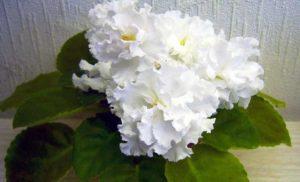 Цветки фиалки крупные, махровые