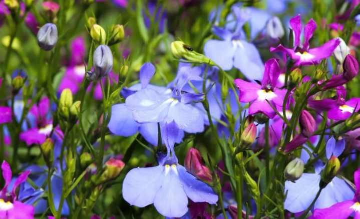 Цветы синих оттенков
