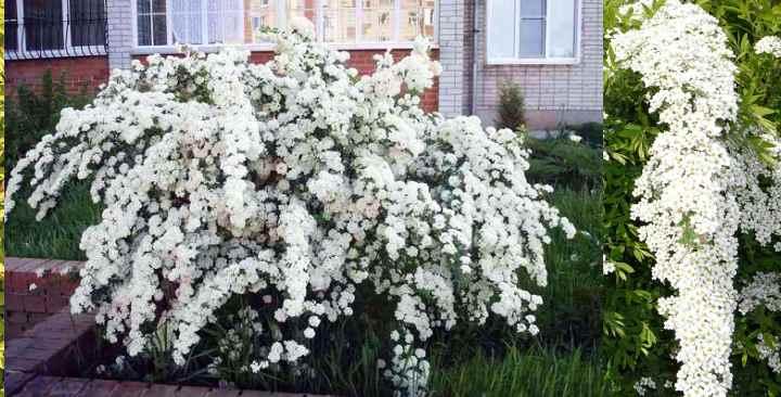 Это растение – гибрид. Также его называют Грефшейм.