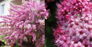 Спирея японская – невысокий лиственный кустарник, с долгоцветущими мелкими цветочками.