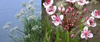 После цветения на растение образуются небольшие плоды