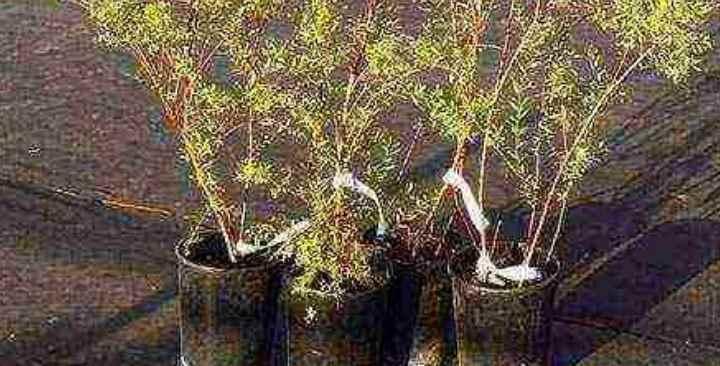 Удалить острым секатором все поврежденные корни и выровнять их до одинаковой длины.