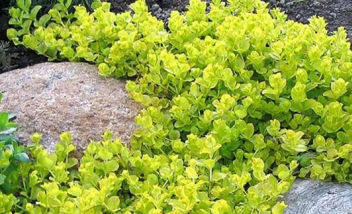 В садах нашей страны обычно произрастает вербейник точечный