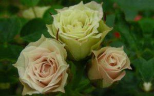 Роза Лавли Грин кажется просто волшебным цветком