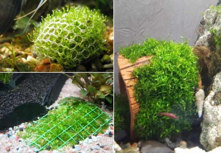 Риччия в аквариуме смотрится интересно