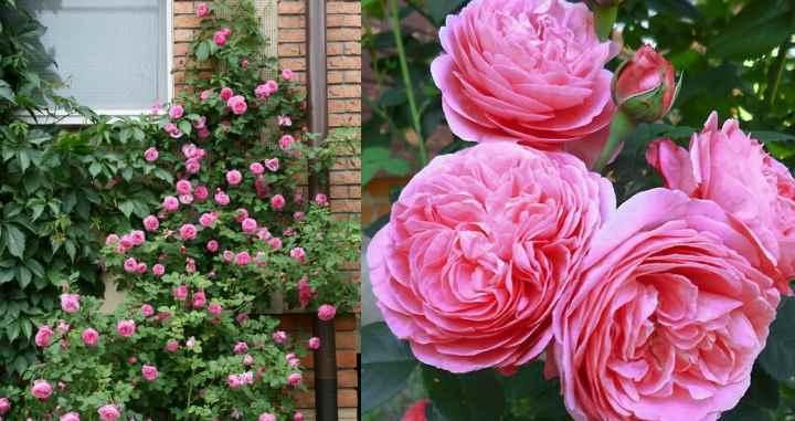 Розу Луис Одьер размножают несколькими способами