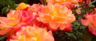 Роза Самба является одной из самых известных