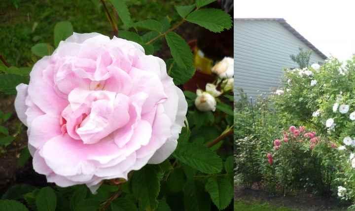 Правила ухода за розой