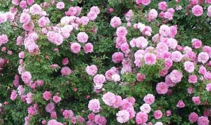 Розанный пилильщик проводит зиму в земле