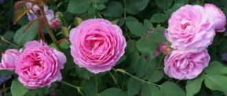 Очень известный и популярный вид парковых роз