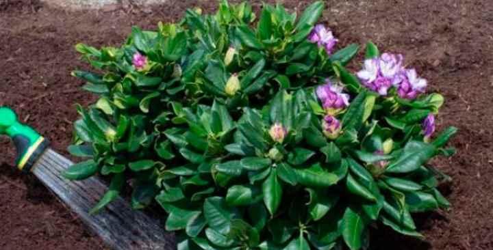Для холодостойких сортов, при посадке, в грунт добавляют хвою, торф и садовую землю.