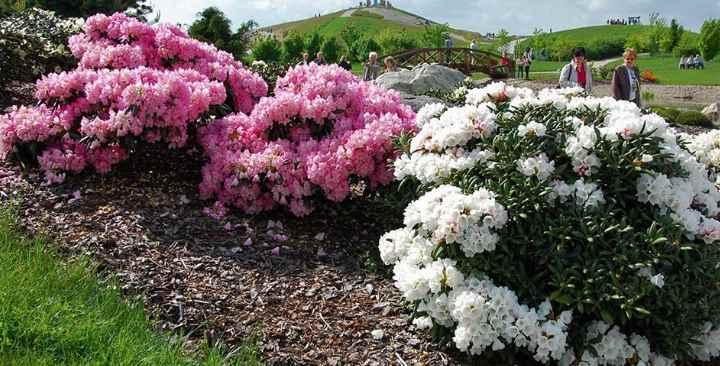 Рододендрон гибридный: лучшие сорта (Нова Зембла, Роз Мари, Кэннингэм), описание с фото