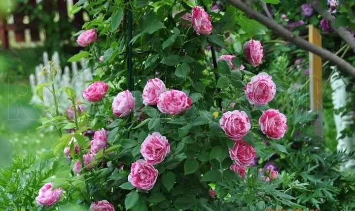 Побеги розы прямостоячие, формируют вытянутый куст.
